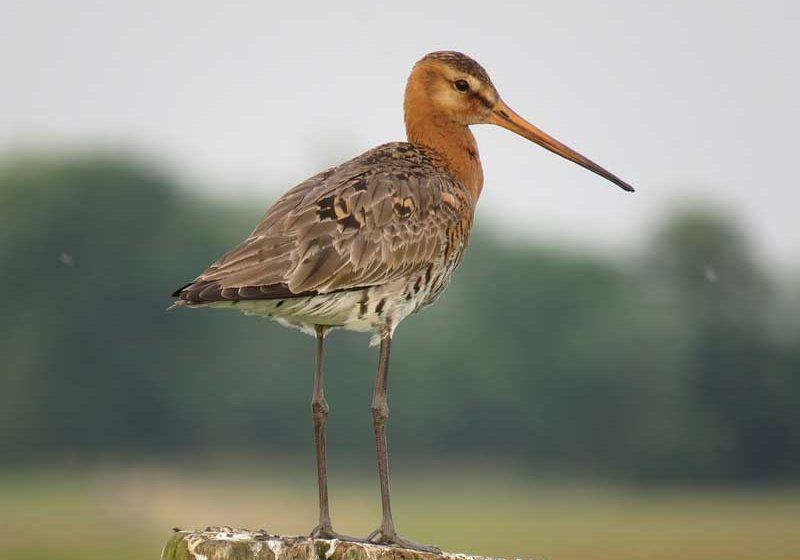 Westergo-black-tailed-godwit-3648526_960_720