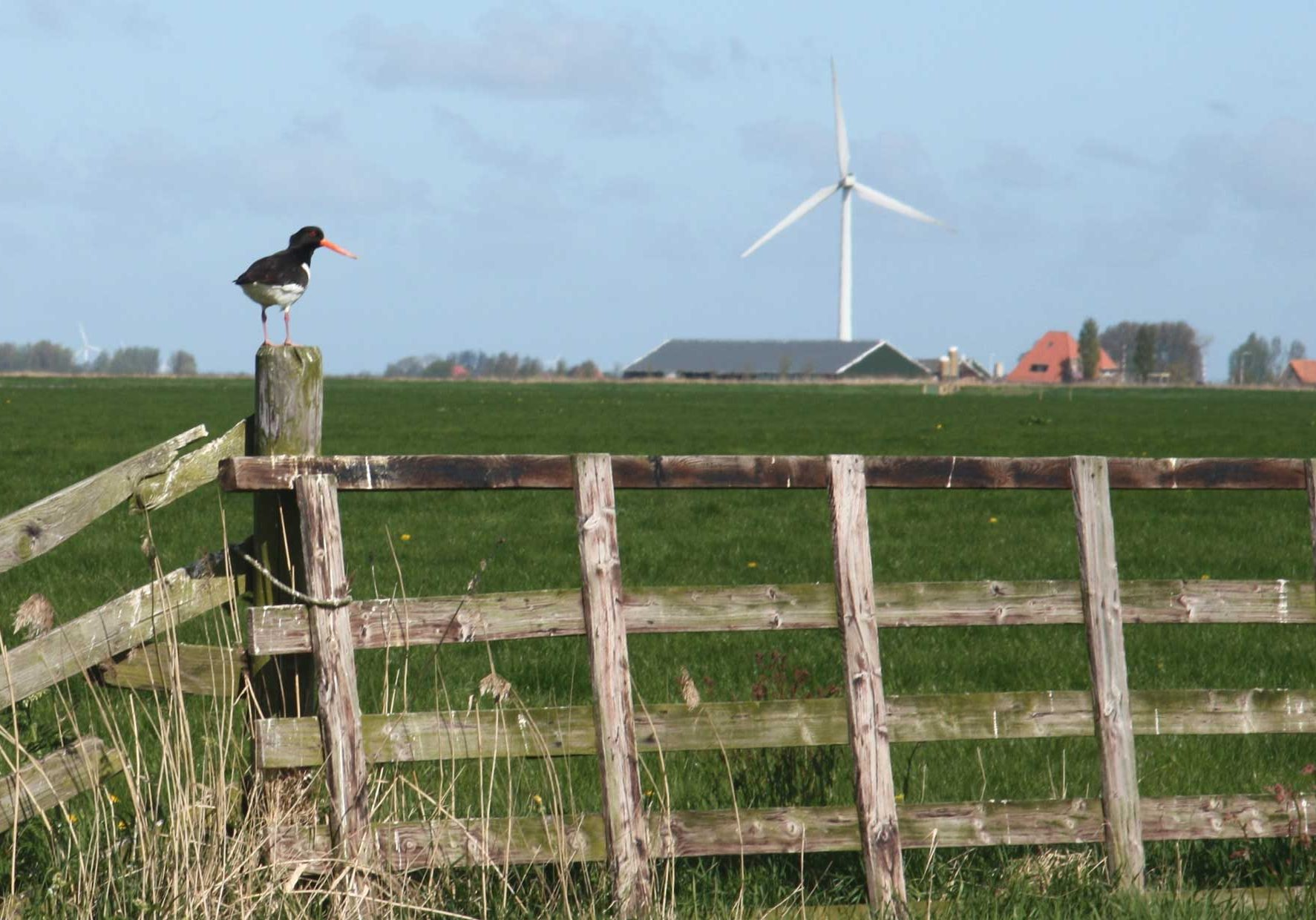 Westergo-weidevogel-21543_